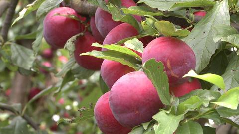 plums on tree Stock Video Footage