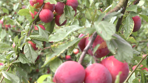 plums on a tree Stock Video Footage
