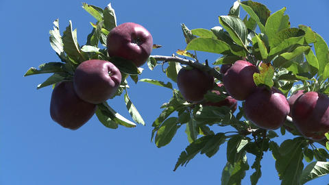 red delicious apple branch Stock Video Footage