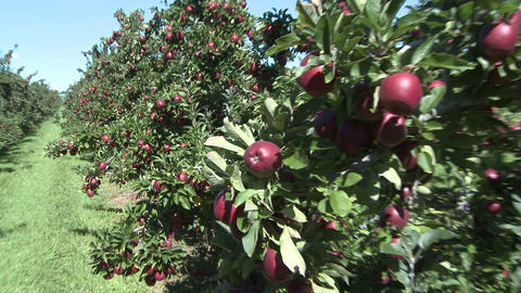 red delicious apples ready to pick Stock Video Footage