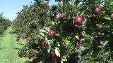 Red Delicious Apples Ready To Pick stock footage