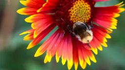 Working bumblebee Stock Video Footage