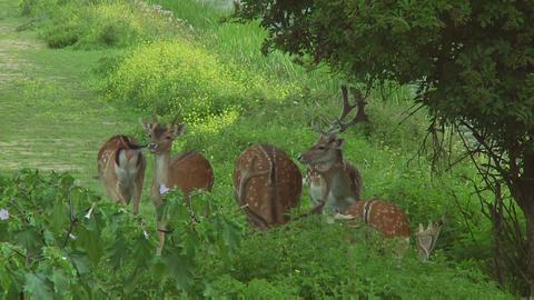 Deer Stock Video Footage