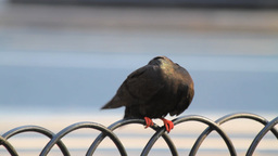 A Pigeon On Metal Fence Stock Video Footage