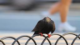 A Pigeon On Metal Fence Footage