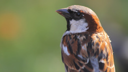 A sparrow Stock Video Footage