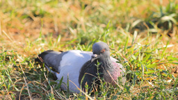 А Pigeon Lying In Lawn Stock Video Footage