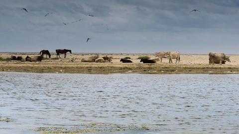 Domestic animals on sandy beach Stock Video Footage