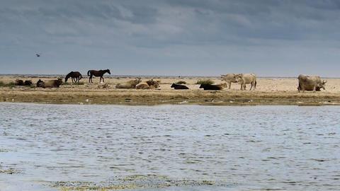 Domestic animals on sandy beach Footage