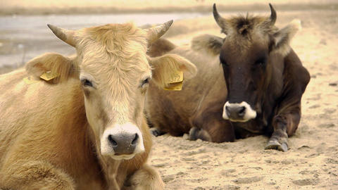 Dairy cows (Bos taurus) resting on beach Stock Video Footage