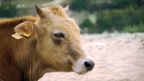 Dairy cow (Bos taurus) eating grass, profile Stock Video Footage