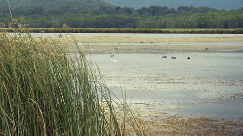 Reeds on lake with ducks Stock Video Footage