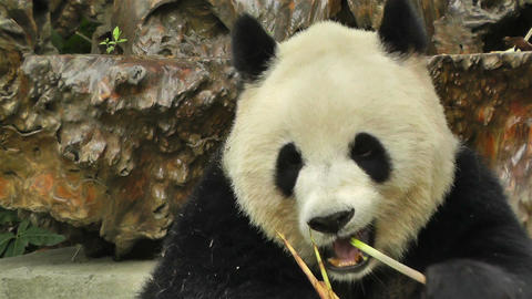 Panda in Chengdu Sichuan China 7 handheld Stock Video Footage