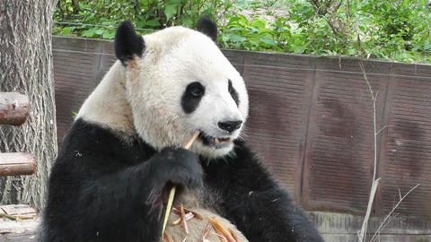 Panda in Chengdu Sichuan China 9 handheld Footage