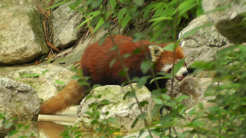 Red Panda in Chengdu Sichuan China 6 handheld Footage