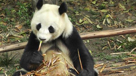 Panda in Chengdu Sichuan China 15 Stock Video Footage