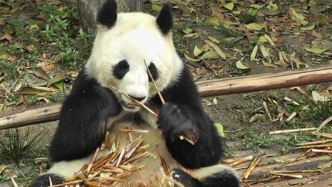 Panda in Chengdu Sichuan China 15 Footage