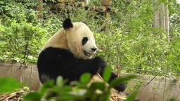 Panda in Chengdu Sichuan China 18 Footage