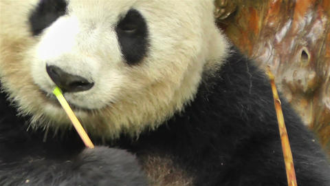 Panda in Chengdu Sichuan China 8 handheld Footage