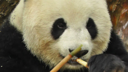 Panda in Chengdu Sichuan China 8 handheld Stock Video Footage