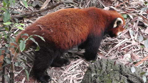 Red Panda in Chengdu Sichuan China 2 handheld Footage