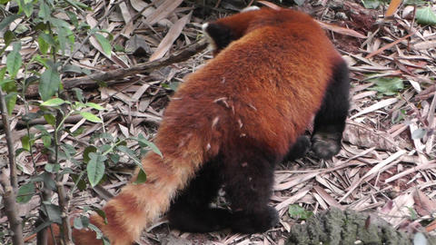 Red Panda in Chengdu Sichuan China 2 handheld Stock Video Footage