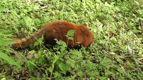 Red Panda in Chengdu Sichuan China 5 handheld Stock Video Footage
