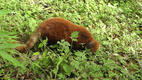 Red Panda in Chengdu Sichuan China 5 handheld Footage