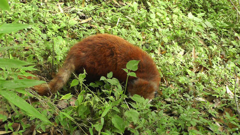 Red Panda in Chengdu Sichuan China 5 handheld Stock Video Footage