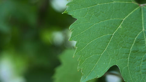 1783 Grape Leave Close Up, 4K stock footage