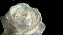 Water falling in super slow motion on white rose Footage