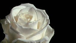 Rain falling in super slow motion on white rose Stock Video Footage