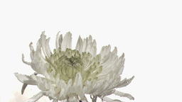 Rain falling in super slow motion on white Chrysan Stock Video Footage