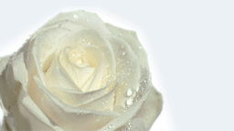 Water falling in super slow motion on rose Footage
