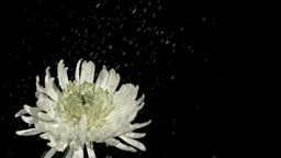 Rain falling in super slow motion on chrysanthemum Stock Video Footage