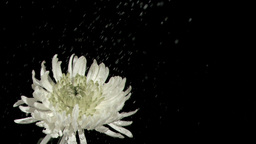 Rain falling in super slow motion on chrysanthemum Footage