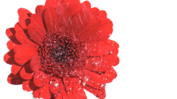 Water raining in super slow motion on gerbera Footage