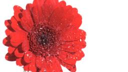 Water raining in super slow motion on gerbera Stock Video Footage