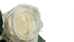 Rain elapsing in super slow motion on white rose Footage
