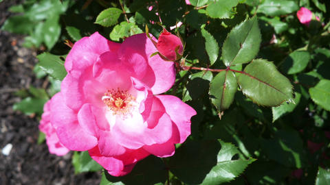 1791 Pink Rose on a Sunny Day, HD Stock Video Footage