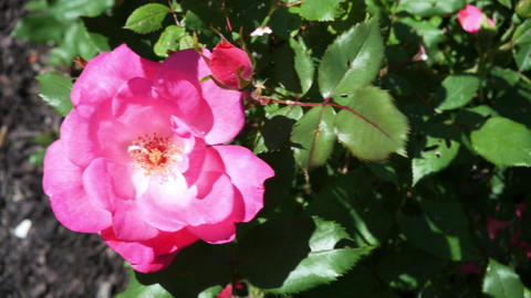 1791 Pink Rose on a Sunny Day, HD Live Action