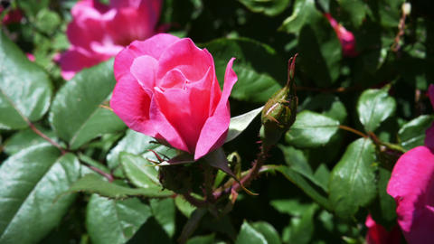 1792 Pink Rose on a Sunny Day, 4K Stock Video Footage