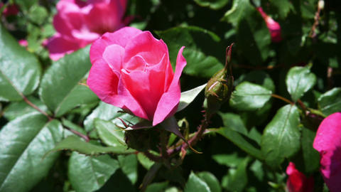 1792 Pink Rose on a Sunny Day , HD Stock Video Footage