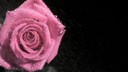 Raindrops in super slow motion flowing on a rose Footage