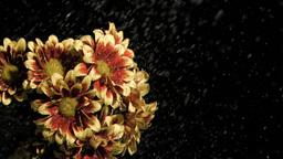 Chrysanthemums carinatum in super slow motion bein Footage