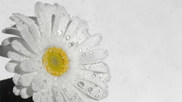 White flower in super slow motion being soaked Footage