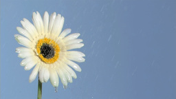 White gerbera daisy in super slow motion being soa Footage