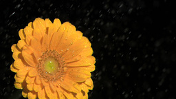 Orange gerbera daisy in super slow motion being so Stock Video Footage
