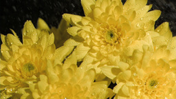 Yellow flowers in super slow motion being soaked Footage