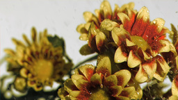 Chrysanthemums in super slow motion being watered Footage